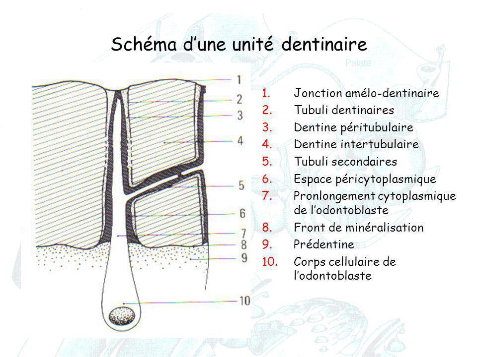 Schéma d'une unité dentinaire 1.Jonction amélo-dentinaire 2.Tubuli dentinaires 3.Dentine péritubulaire 4.Dentine intertubulaire 5.Tubuli secondaires 6