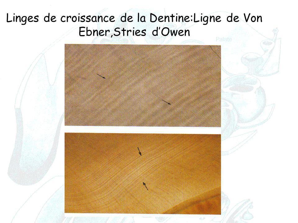 Linges de croissance de la Dentine:Ligne de Von Ebner,Stries d'Owen
