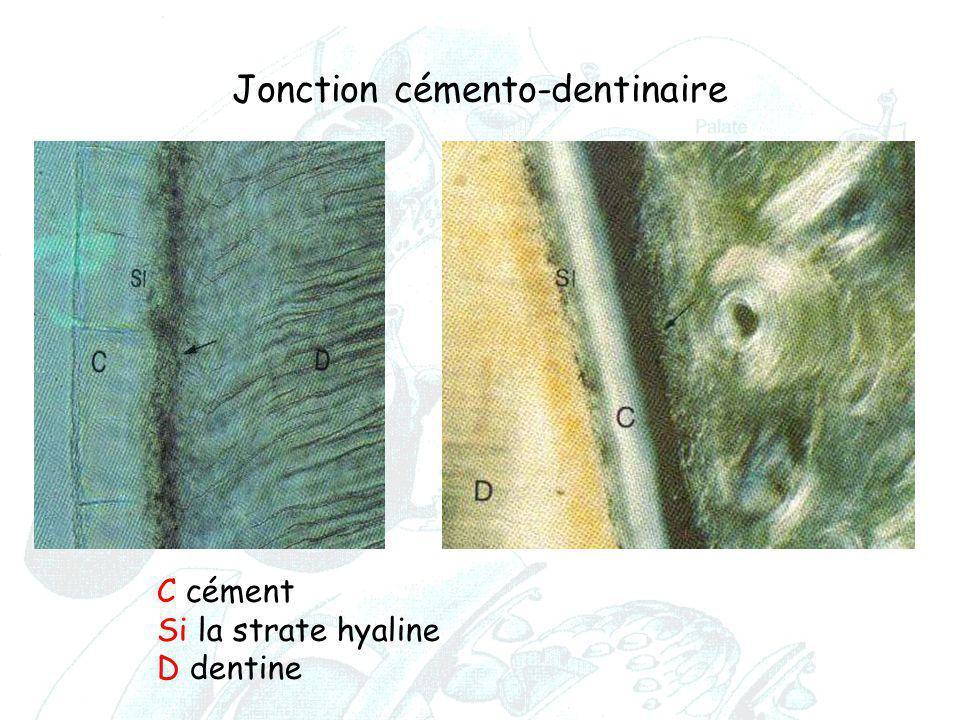 Jonction cémento-dentinaire C cément Si la strate hyaline D dentine C cément Si la strate hyaline D dentine