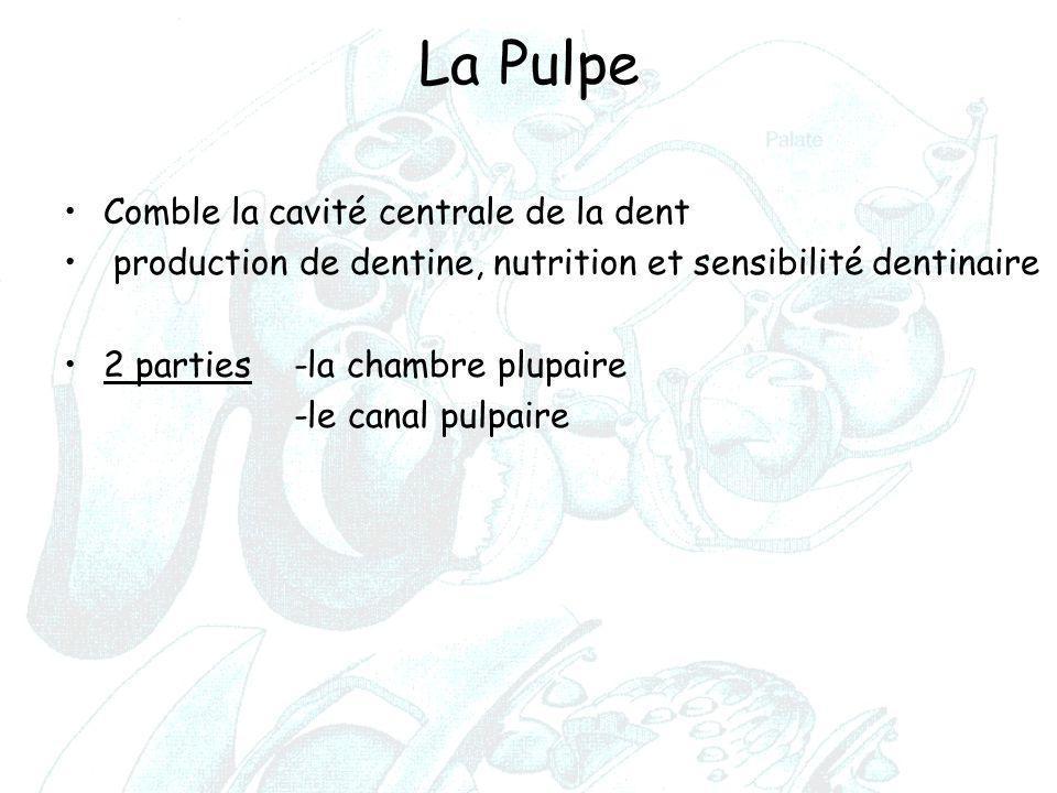 La Pulpe Comble la cavité centrale de la dent production de dentine, nutrition et sensibilité dentinaire 2 parties -la chambre plupaire -le canal pulp