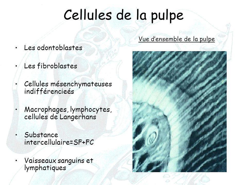 Cellules de la pulpe Les odontoblastes Les fibroblastes Cellules mésenchymateuses indifférencieés Macrophages, lymphocytes, cellules de Langerhans Sub