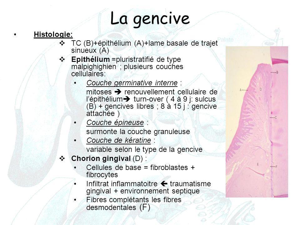 La gencive Histologie:  TC (B)+épithélium (A)+lame basale de trajet sinueux (A)  Epithélium =pluristratifié de type malpighighien ; plusieurs couche