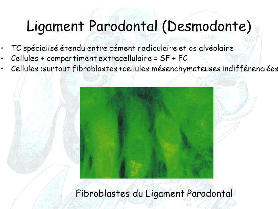 Ligament Parodontal (Desmodonte) TC spécialisé étendu entre cément radiculaire et os alvéolaire Cellules + compartiment extracellulaire = SF + FC Cell