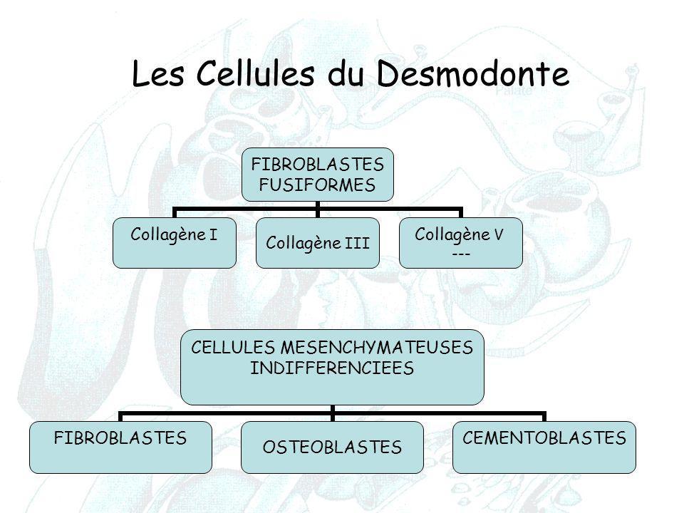 Les Cellules du Desmodonte