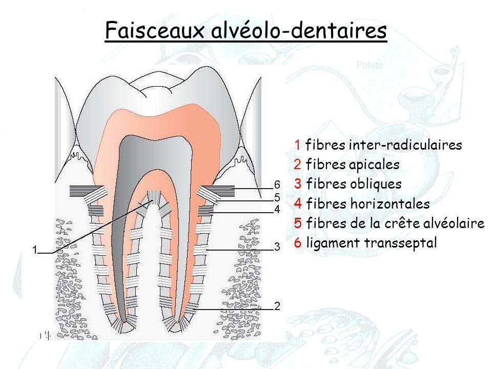 Faisceaux alvéolo-dentaires 1 fibres inter-radiculaires 2 fibres apicales 3 fibres obliques 4 fibres horizontales 5 fibres de la crête alvéolaire 6 li