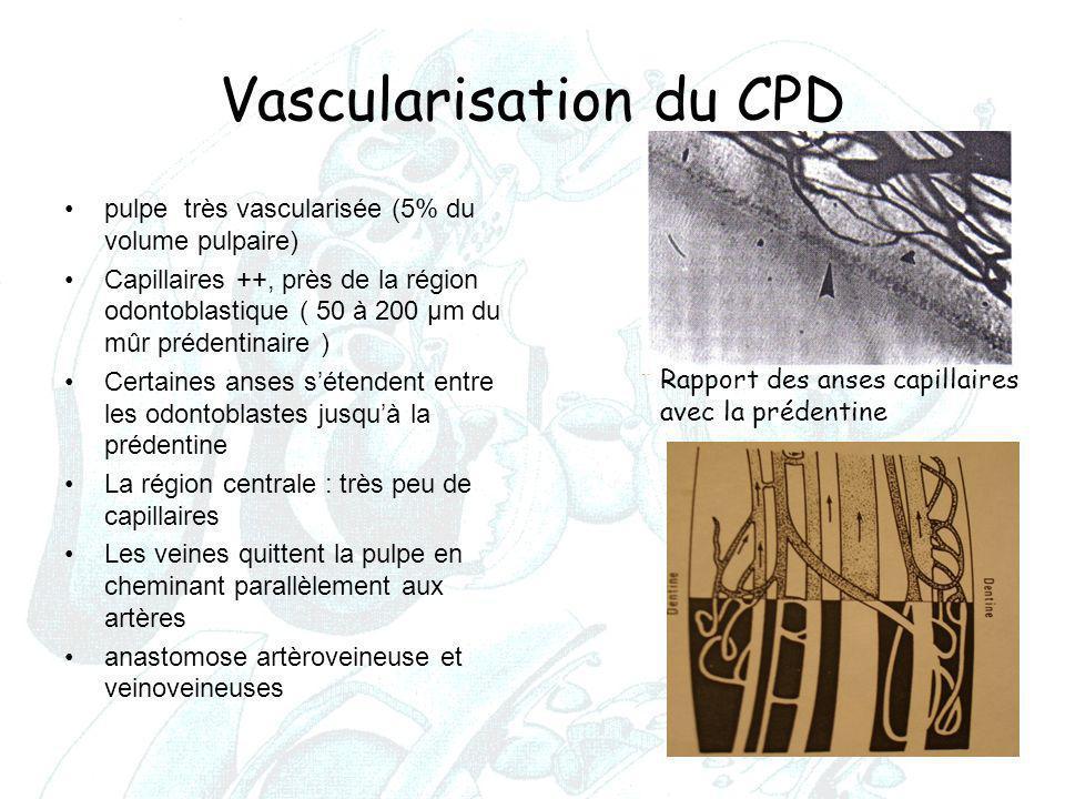 Vascularisation du CPD pulpe très vascularisée (5% du volume pulpaire) Capillaires ++, près de la région odontoblastique ( 50 à 200 µm du mûr prédenti