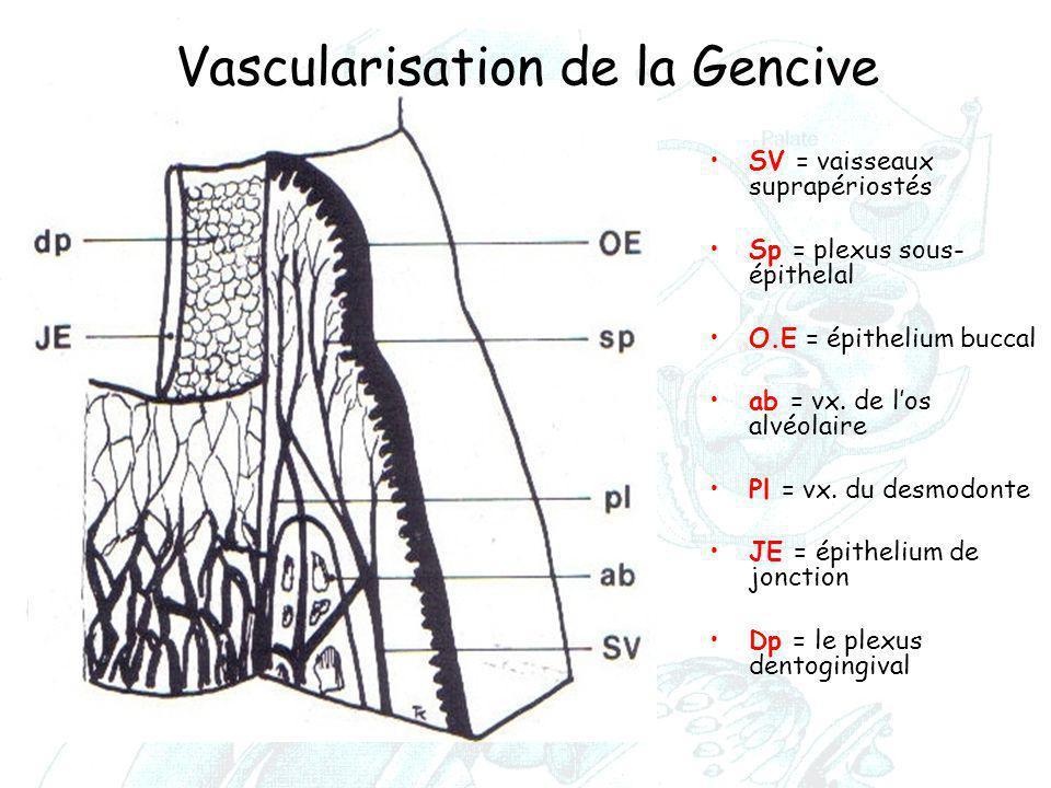 Vascularisation de la Gencive SV = vaisseaux suprapériostés Sp = plexus sous- épithelal O.E = épithelium buccal ab = vx. de l'os alvéolaire Pl = vx. d