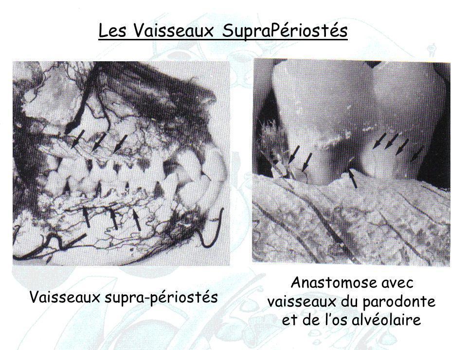 Vaisseaux supra-périostés Anastomose avec vaisseaux du parodonte et de l'os alvéolaire Les Vaisseaux SupraPériostés