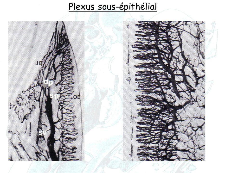 Plexus sous-épithélial