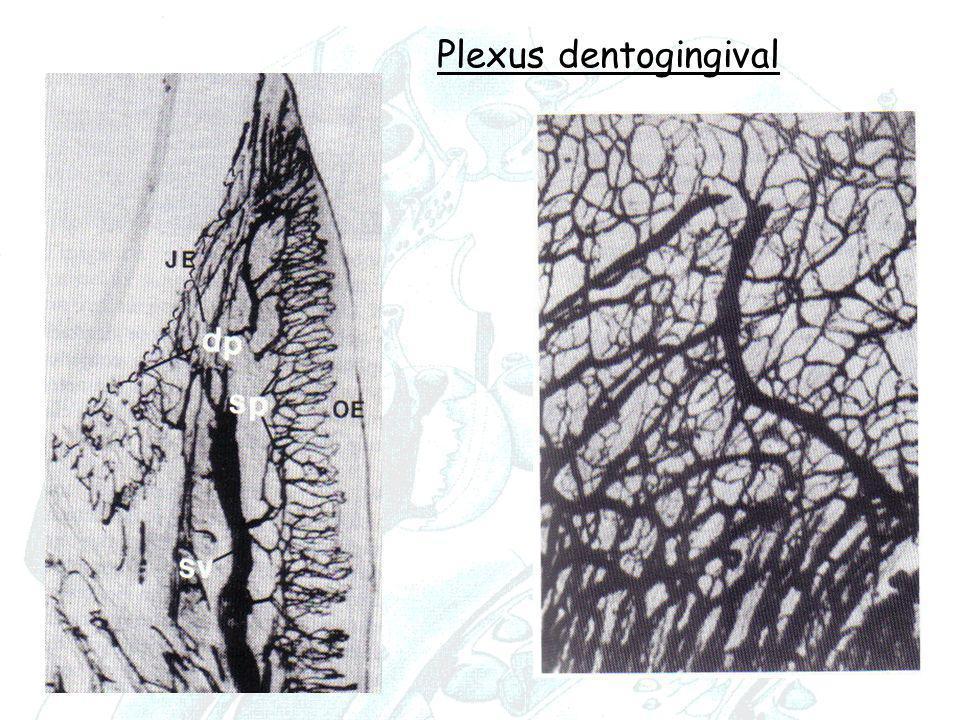 Plexus dentogingival