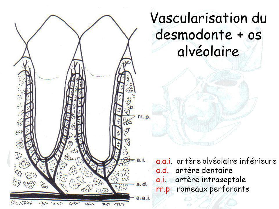 a.a.i. artère alvéolaire inférieure a.d. artère dentaire a.i. artère intraseptale rr.p rameaux perforants Vascularisation du desmodonte + os alvéolair