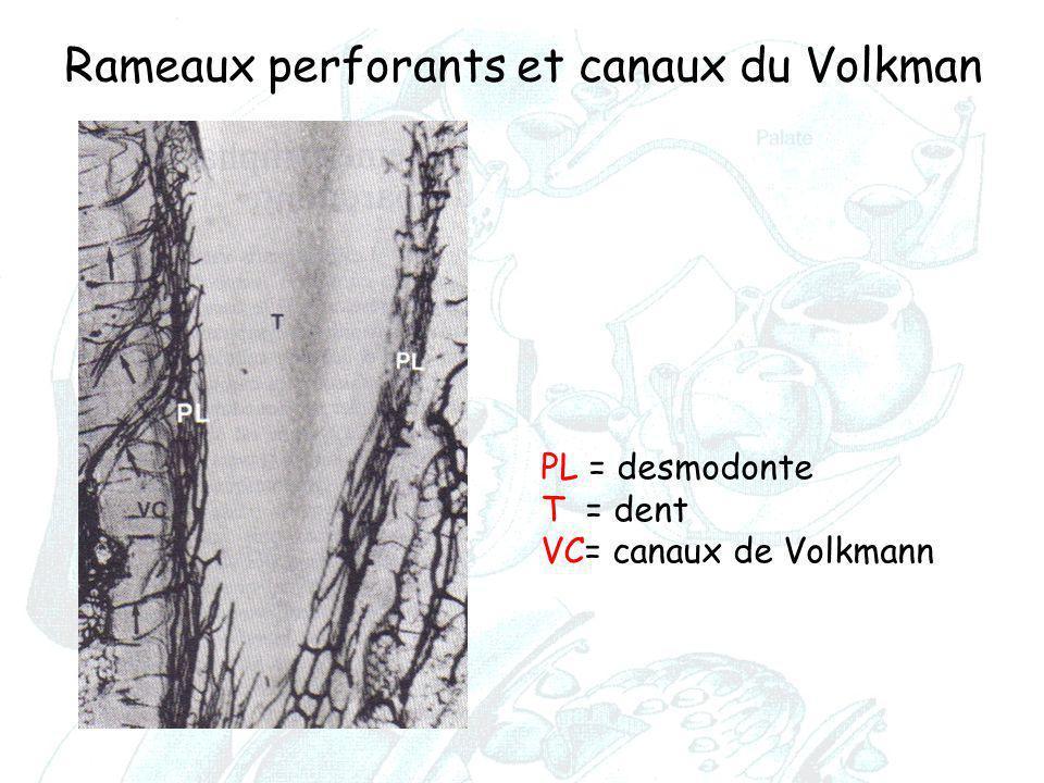 Rameaux perforants et canaux du Volkman PL = desmodonte T = dent VC= canaux de Volkmann