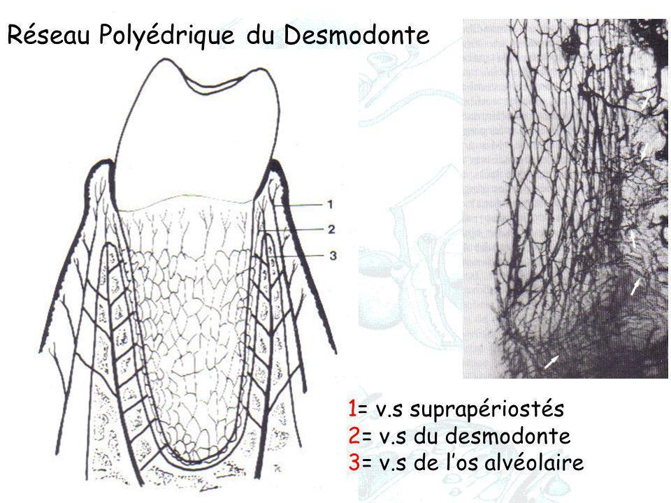 1= v.s suprapériostés 2= v.s du desmodonte 3= v.s de l'os alvéolaire Réseau Polyédrique du Desmodonte