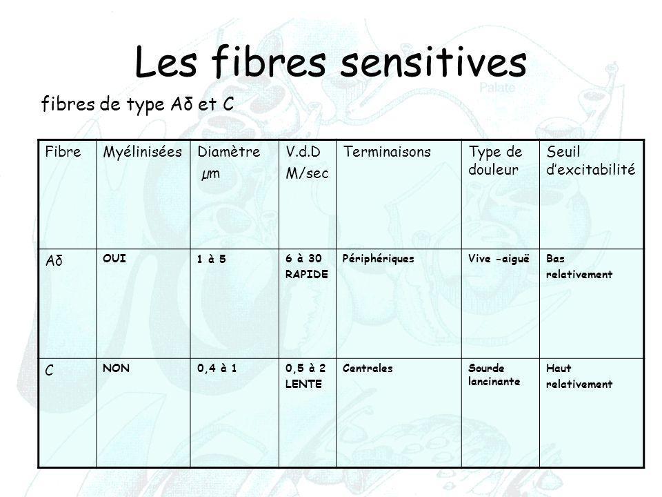 Les fibres sensitives Fibre Myélinisées Diamètre µm V.d.D M/sec TerminaisonsType de douleur Seuil d'excitabilité AδAδ OUI 1 à 5 6 à 30 RAPIDE Périphér