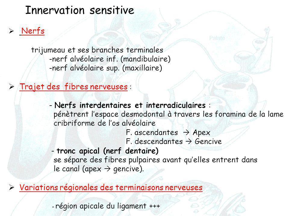 Innervation sensitive  Nerfs trijumeau et ses branches terminales -nerf alvéolaire inf. (mandibulaire) -nerf alvéolaire sup. (maxillaire)  Trajet de