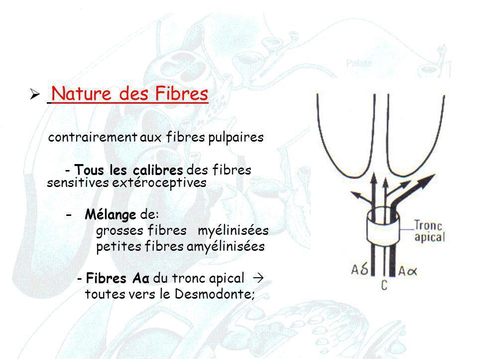  Nature des Fibres contrairement aux fibres pulpaires - Tous les calibres des fibres sensitives extéroceptives - Mélange de: grosses fibres myélinisé