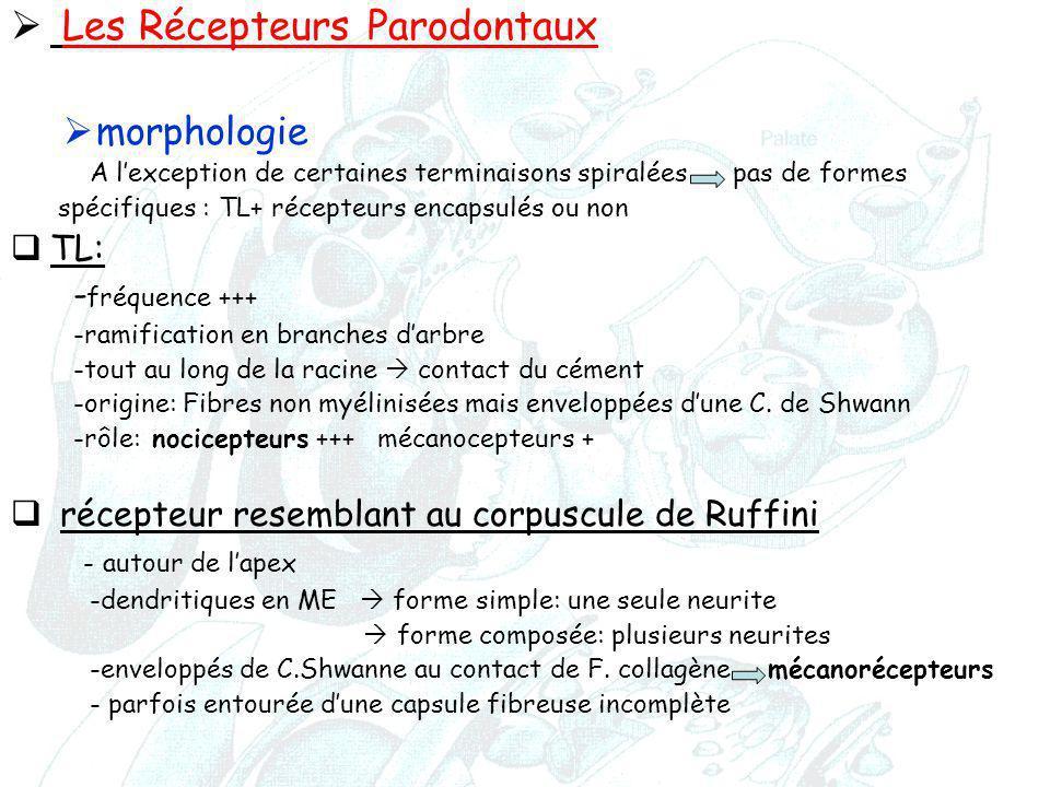  Les Récepteurs Parodontaux  morphologie A l'exception de certaines terminaisons spiralées pas de formes spécifiques : TL+ récepteurs encapsulés ou