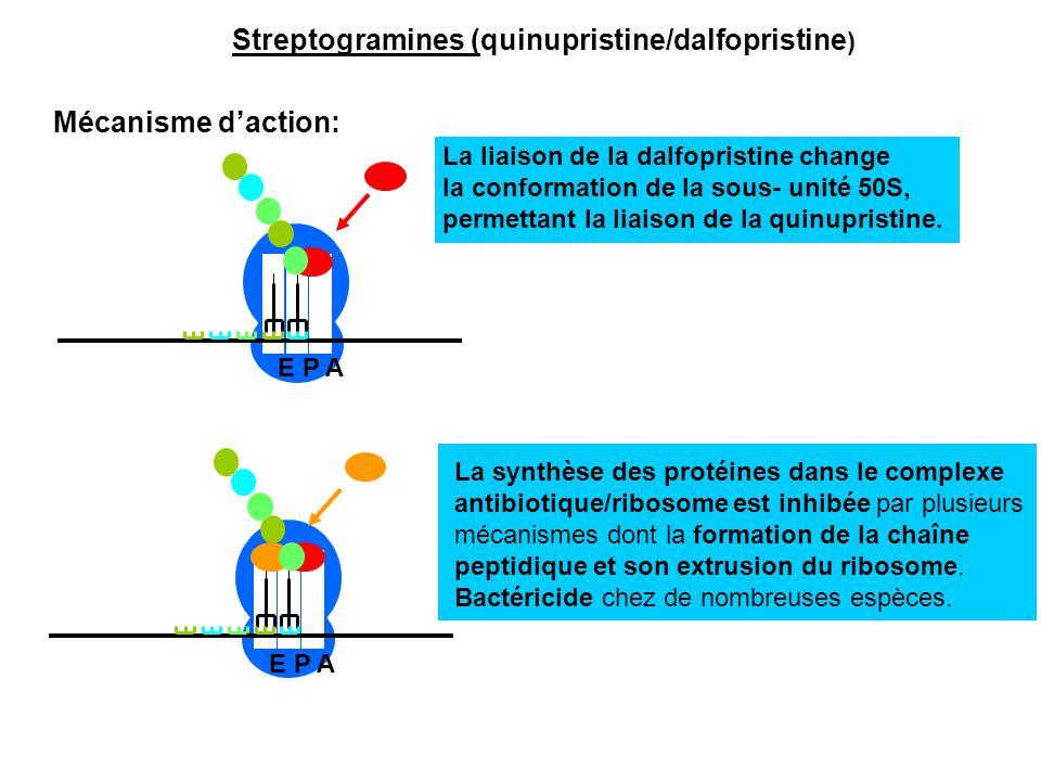 E P A La liaison de la dalfopristine change la conformation de la sous- unité 50S, permettant la liaison de la quinupristine. E P A La synthèse des pr