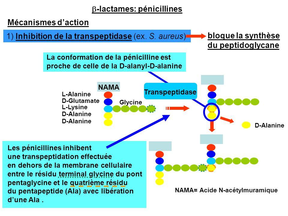 Mécanismes d'action L-Alanine D-Glutamate L-Lysine D-Alanine Glycine D-Alanine NAMA NAMA= Acide N-acétylmuramique Transpeptidase Les pénicillines inhi