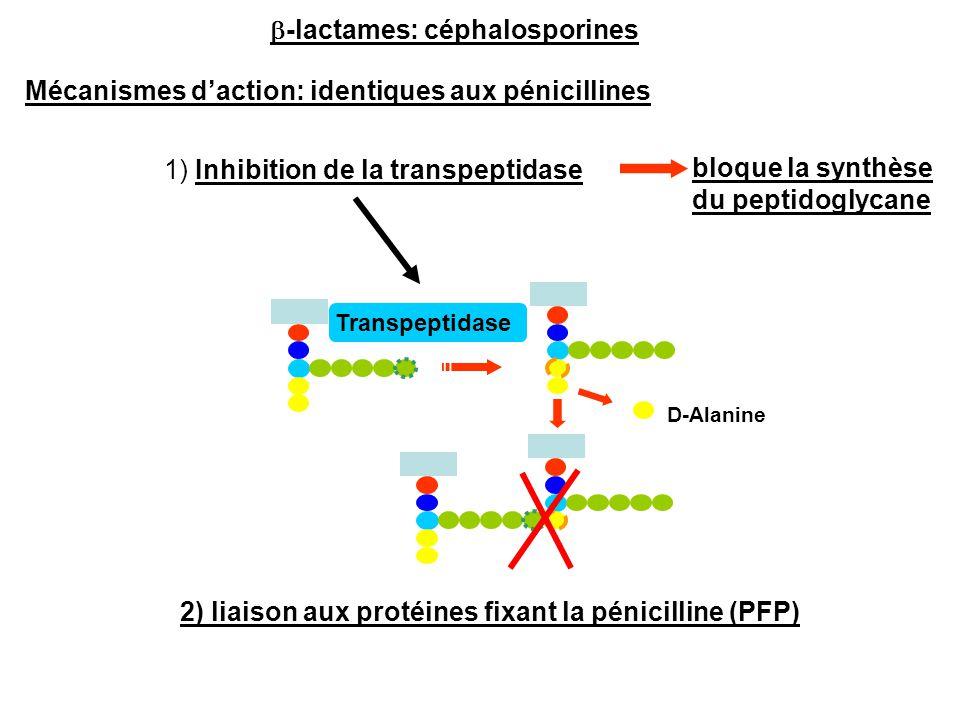 Mécanismes d'action: identiques aux pénicillines D-Alanine Transpeptidase 1) Inhibition de la transpeptidase bloque la synthèse du peptidoglycane 2) l