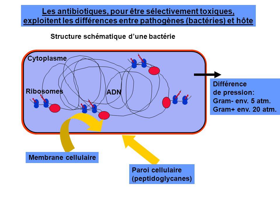 Les antibiotiques, pour être sélectivement toxiques, exploitent les différences entre pathogènes (bactéries) et hôte ADN Membrane cellulaire Paroi cel