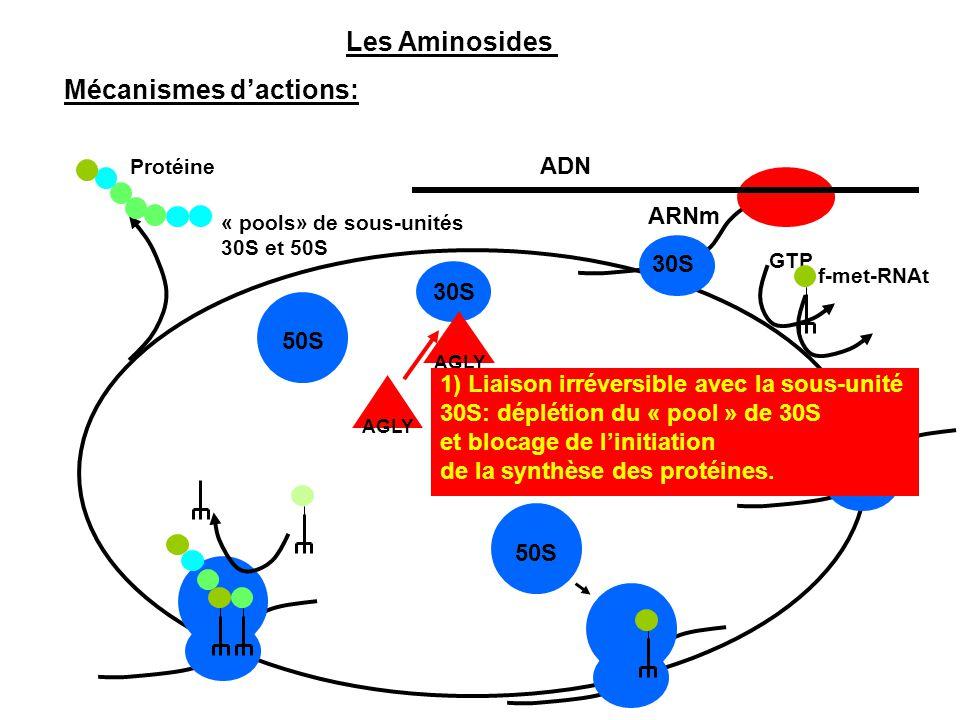 ADN ARNm GTP f-met-RNAt 30S 50S 30S Protéine « pools» de sous-unités 30S et 50S AGLY 1) Liaison irréversible avec la sous-unité 30S: déplétion du « po