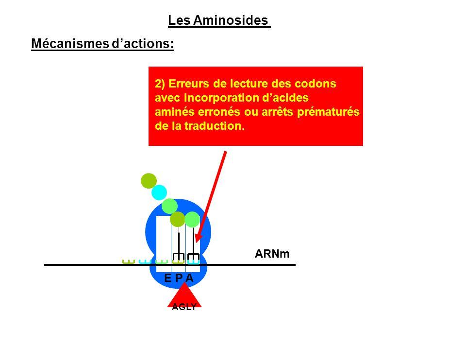 E P A 2) Erreurs de lecture des codons avec incorporation d'acides aminés erronés ou arrêts prématurés de la traduction. Les Aminosides Mécanismes d'a