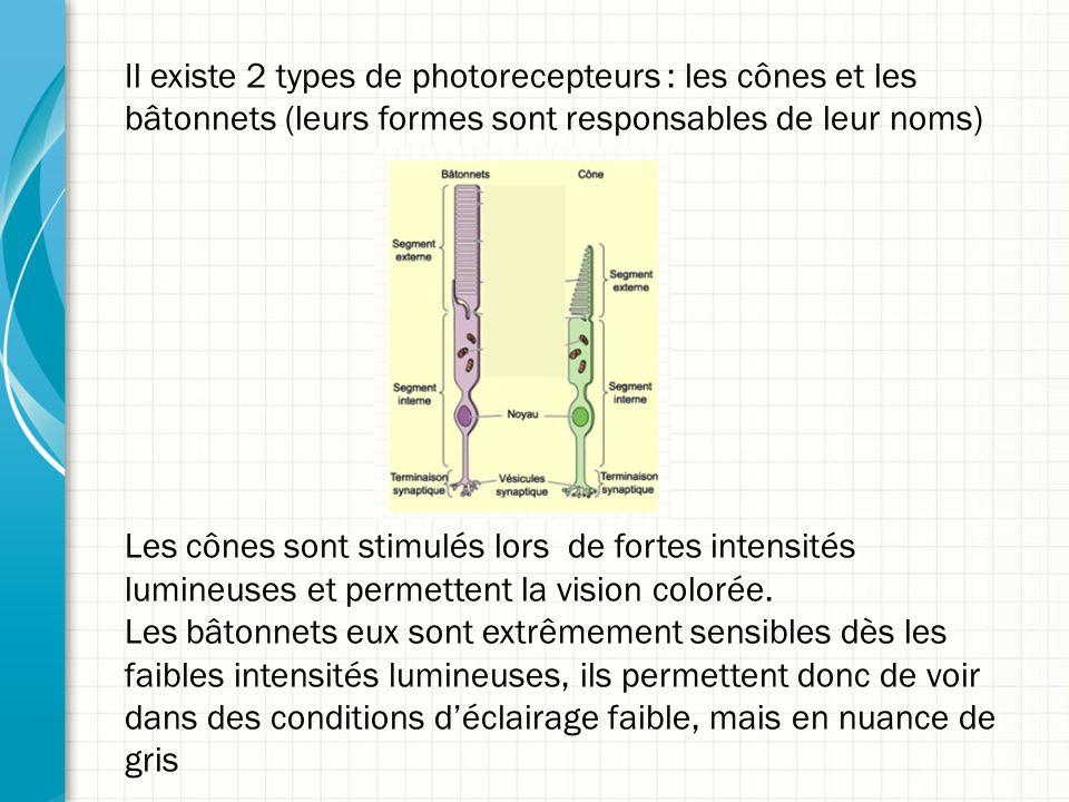 Il existe 2 types de photorecepteurs : les cônes et les bâtonnets (leurs formes sont responsables de leur noms) Les cônes sont stimulés lors de fortes intensités lumineuses et permettent la vision colorée.