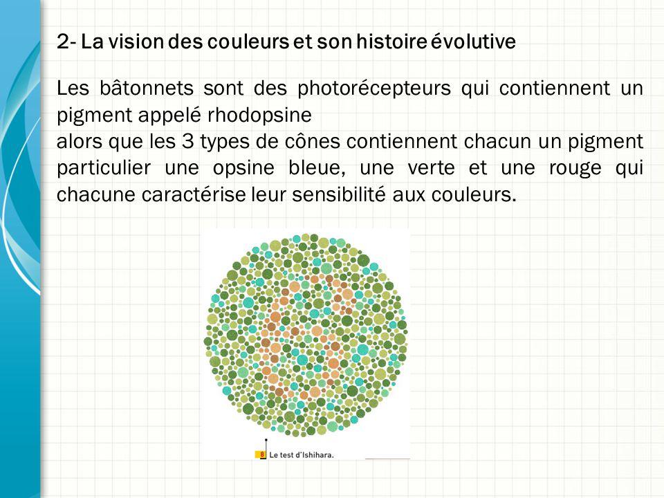 2- La vision des couleurs et son histoire évolutive Les bâtonnets sont des photorécepteurs qui contiennent un pigment appelé rhodopsine alors que les 3 types de cônes contiennent chacun un pigment particulier une opsine bleue, une verte et une rouge qui chacune caractérise leur sensibilité aux couleurs.