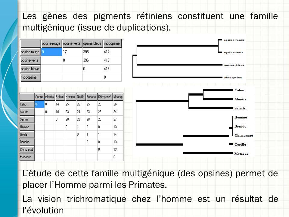 Les gènes des pigments rétiniens constituent une famille multigénique (issue de duplications). L'étude de cette famille multigénique (des opsines) per