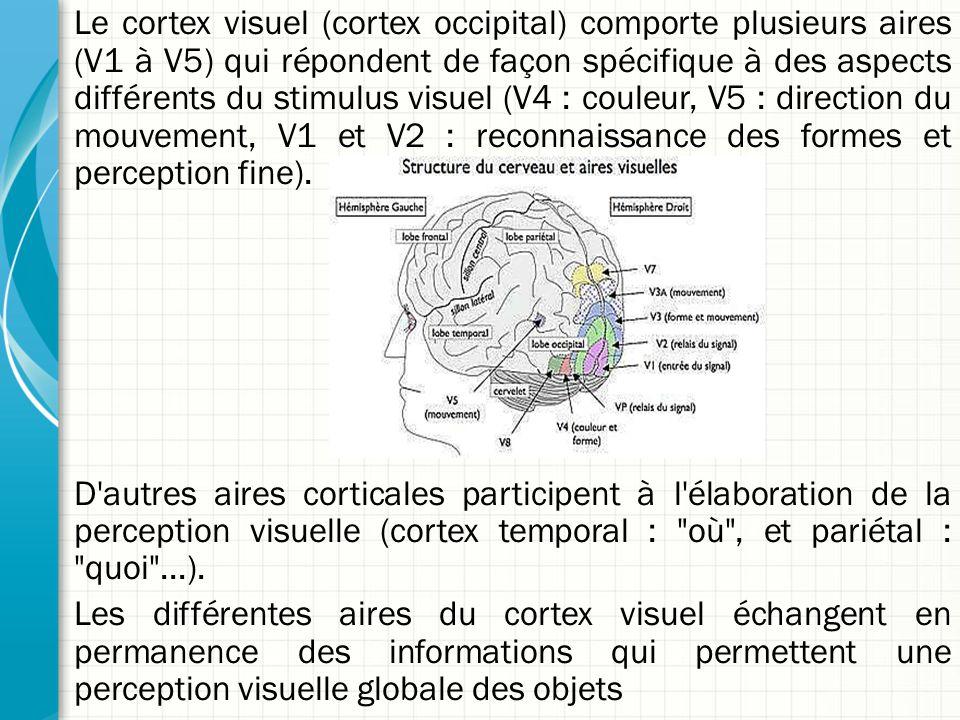 Le cortex visuel (cortex occipital) comporte plusieurs aires (V1 à V5) qui répondent de façon spécifique à des aspects différents du stimulus visuel (V4 : couleur, V5 : direction du mouvement, V1 et V2 : reconnaissance des formes et perception fine).