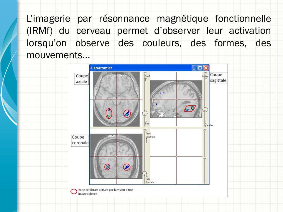 L'imagerie par résonnance magnétique fonctionnelle (IRMf) du cerveau permet d'observer leur activation lorsqu'on observe des couleurs, des formes, des