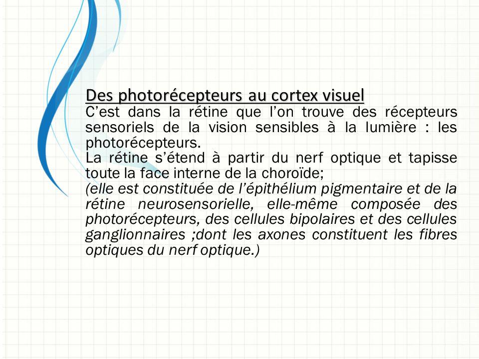 Des photorécepteurs au cortex visuel C'est dans la rétine que l'on trouve des récepteurs sensoriels de la vision sensibles à la lumière : les photorécepteurs.
