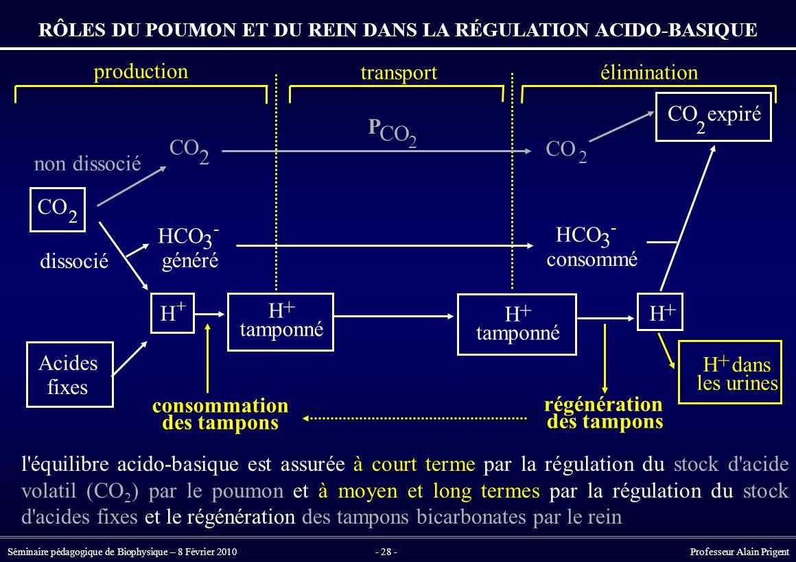 Séminaire pédagogique de Biophysique – 8 Février 2010- 28 - Professeur Alain Prigent RÔLES DU POUMON ET DU REIN DANS LA RÉGULATION ACIDO-BASIQUE l équilibre acido-basique est assurée à court terme par la régulation du stock d acide volatil (CO 2 ) par le poumon et à moyen et long termes par la régulation du stock d acides fixes et le régénération des tampons bicarbonates par le rein H + tamponné H + dans les urines Acides fixes CO 2 2 2 2 expiré HCO 3 - généré HCO 3 - consommé non dissocié dissocié P CO 2 H + tamponné production transportélimination consommation des tampons régénération des tampons H + H +