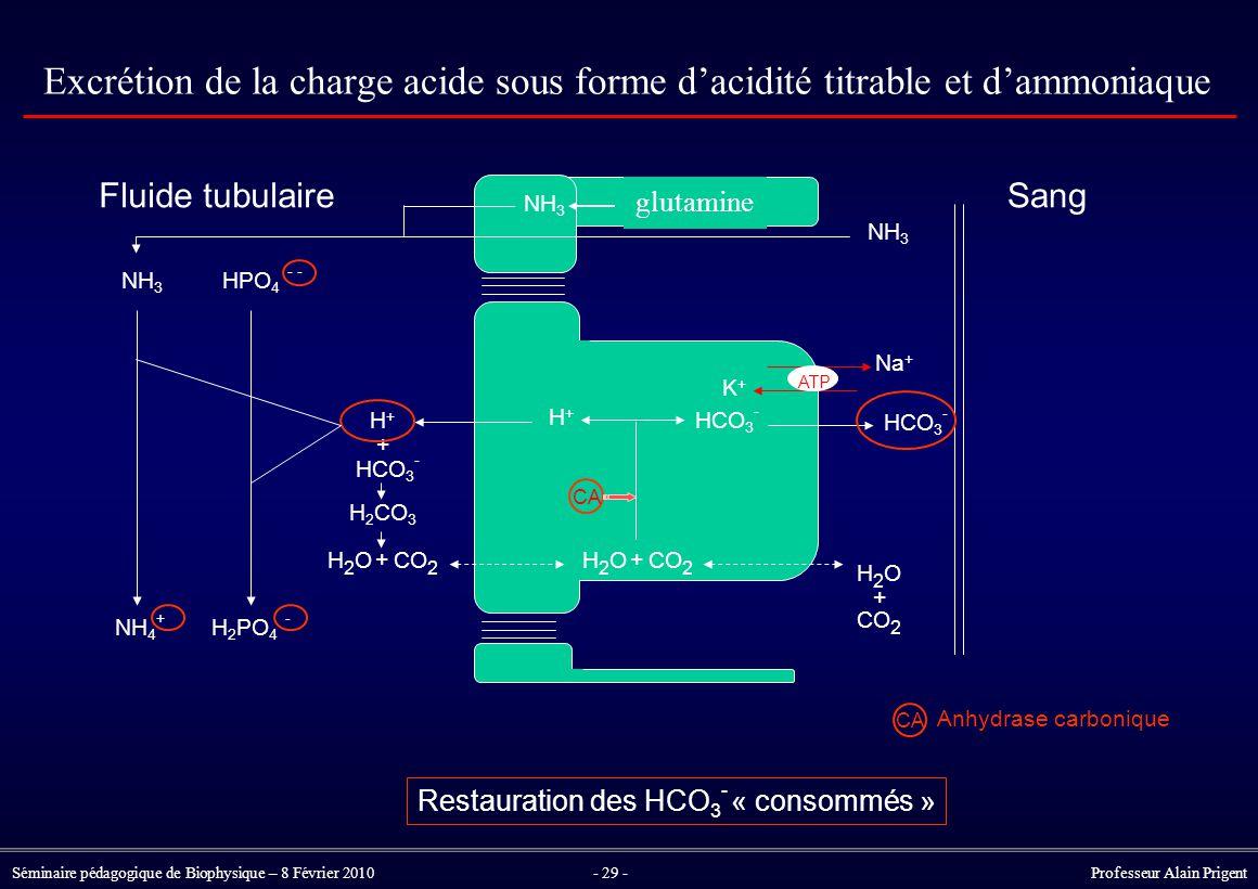 Séminaire pédagogique de Biophysique – 8 Février 2010- 29 - Professeur Alain Prigent Excrétion de la charge acide sous forme d'acidité titrable et d'ammoniaque Restauration des HCO 3 - « consommés » HCO 3 - ATP Na + K+K+ H+H+ CA H+H+ HCO 3 - H 2 CO 3 + H2OH2OCO 2 + H2OH2O + H2OH2O + CA Anhydrase carbonique HPO 4 - - HCO 3 - H 2 PO 4 - NH 3 NH 4 + NH 3 SangFluide tubulaire glutamine NH 3