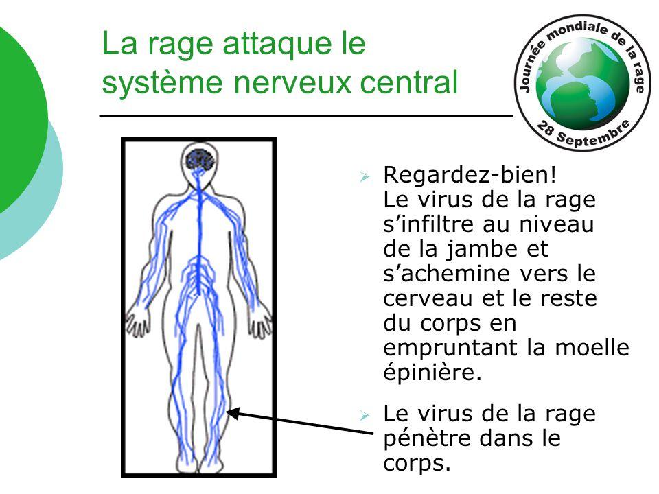 La rage attaque le système nerveux central  Regardez-bien! Le virus de la rage s'infiltre au niveau de la jambe et s'achemine vers le cerveau et le r
