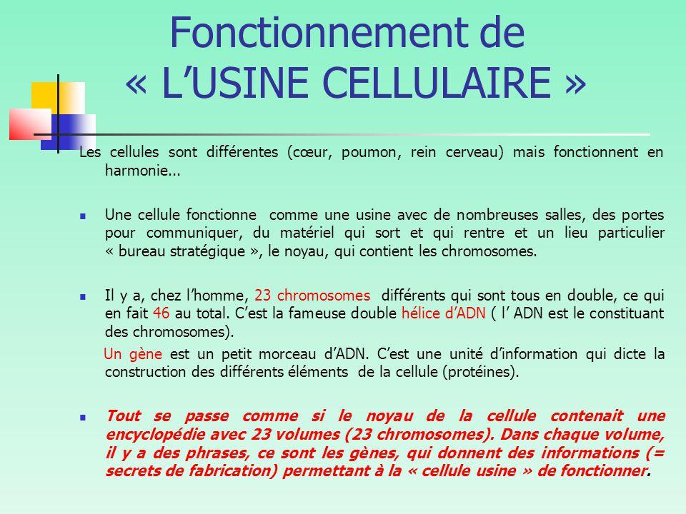 Fonctionnement de « L'USINE CELLULAIRE » Les cellules sont différentes (cœur, poumon, rein cerveau) mais fonctionnent en harmonie...