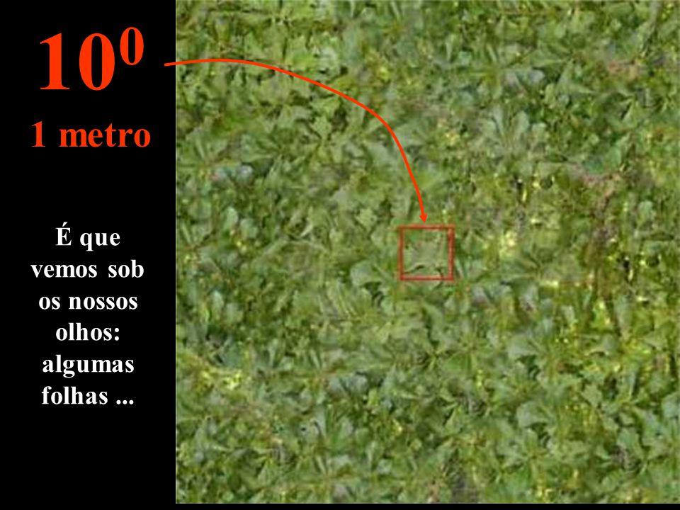 É que vemos sob os nossos olhos: algumas folhas... 10 0 1 metro