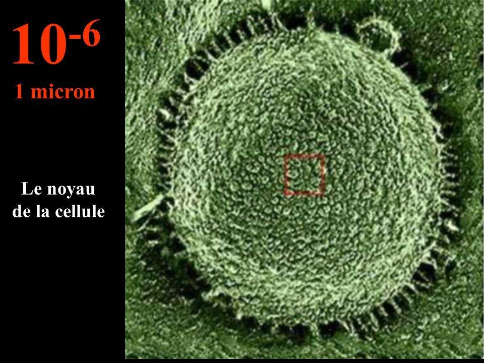 Allons vers l'intérieur d'une cellule... 10 -5 10 microns