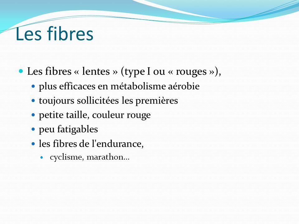 Les fibres Les fibres « lentes » (type I ou « rouges »), plus efficaces en métabolisme aérobie toujours sollicitées les premières petite taille, coule