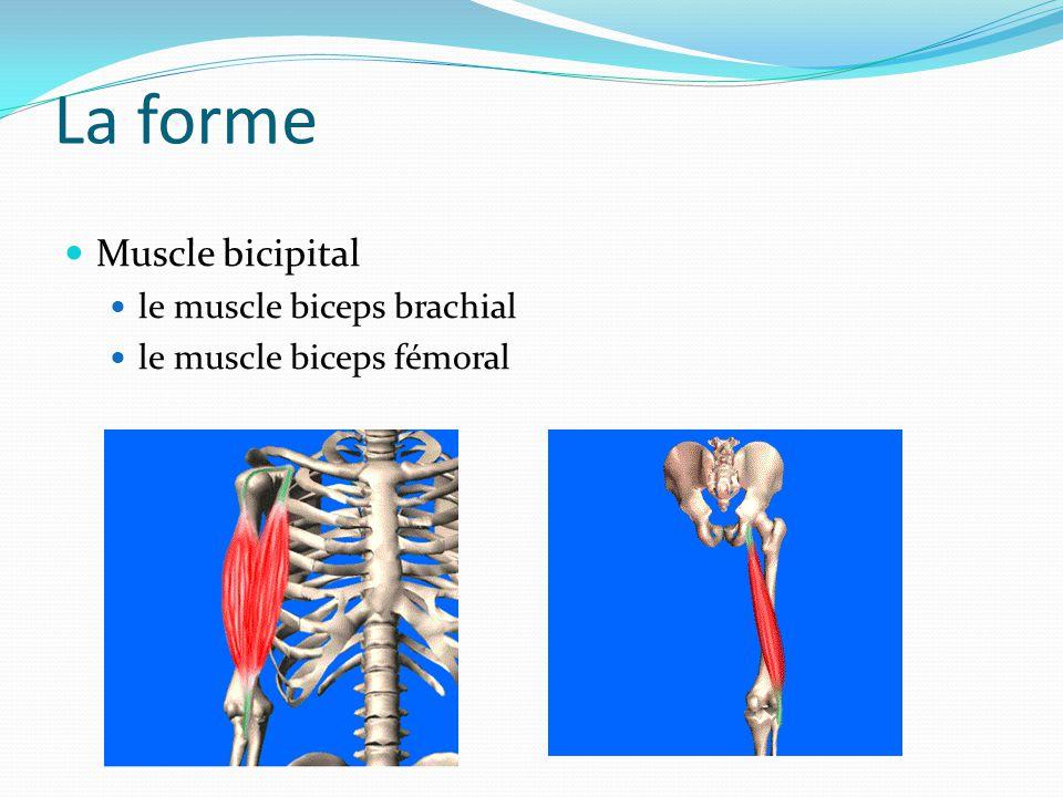 La forme Muscle bicipital le muscle biceps brachial le muscle biceps fémoral