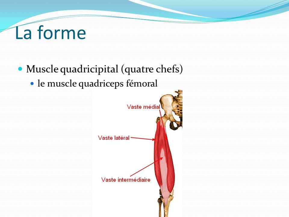 La forme Muscle quadricipital (quatre chefs) le muscle quadriceps fémoral