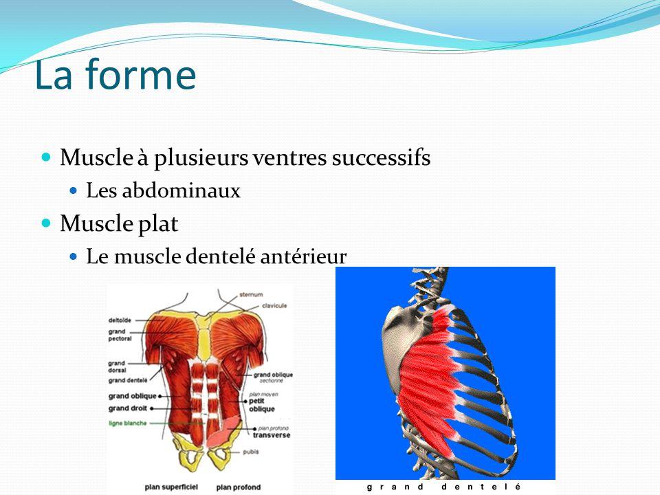 La forme Muscle à plusieurs ventres successifs Les abdominaux Muscle plat Le muscle dentelé antérieur