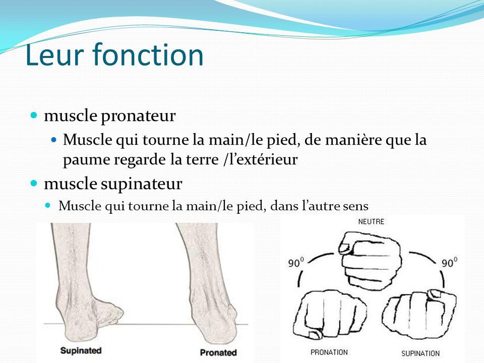 Leur fonction muscle pronateur Muscle qui tourne la main/le pied, de manière que la paume regarde la terre /l'extérieur muscle supinateur Muscle qui t