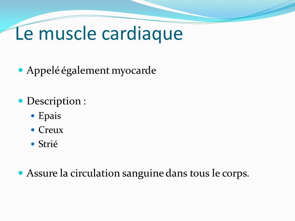 Le muscle cardiaque Appelé également myocarde Description : Epais Creux Strié Assure la circulation sanguine dans tous le corps.