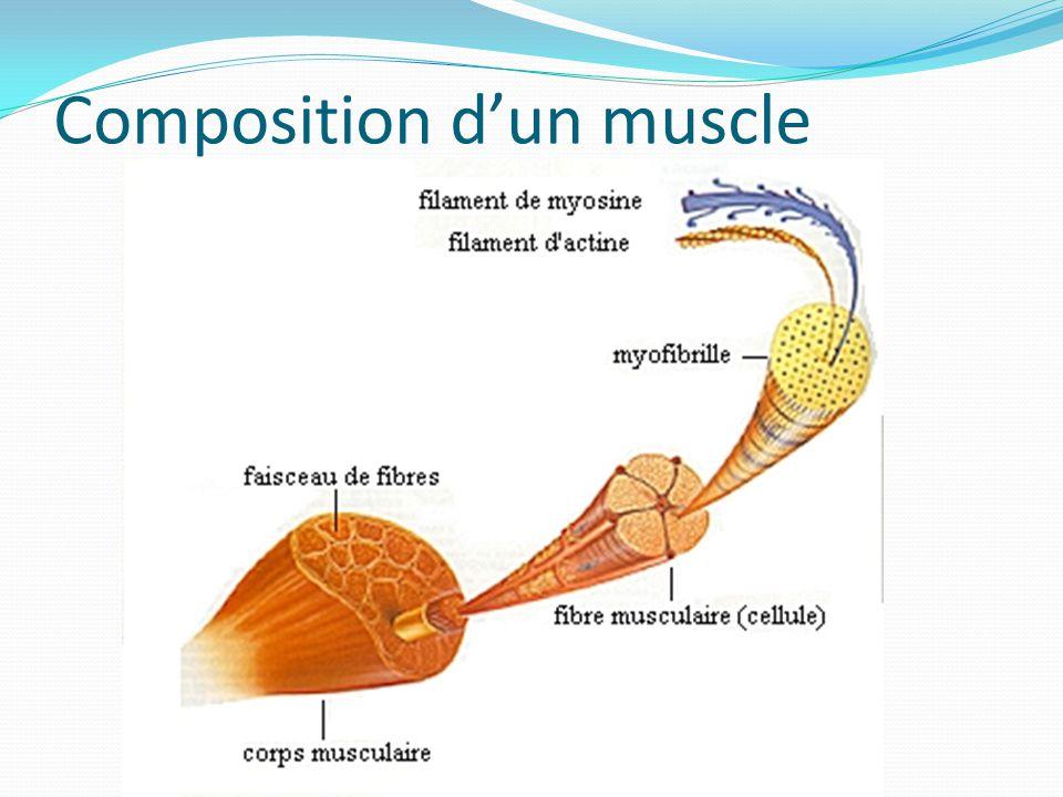 Composition d'un muscle