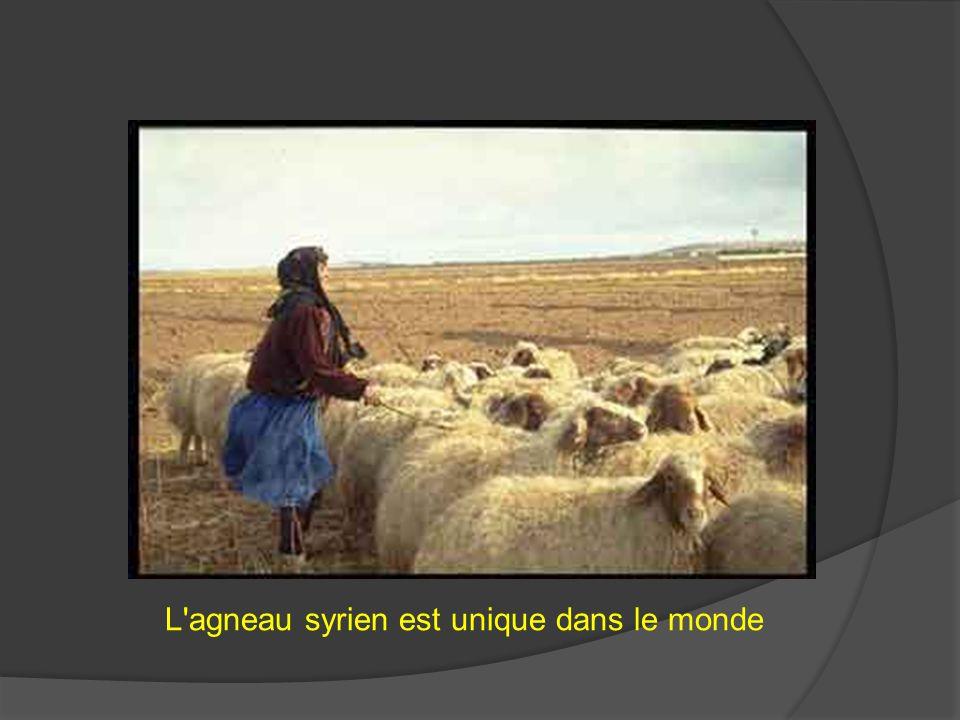 L agneau syrien est unique dans le monde