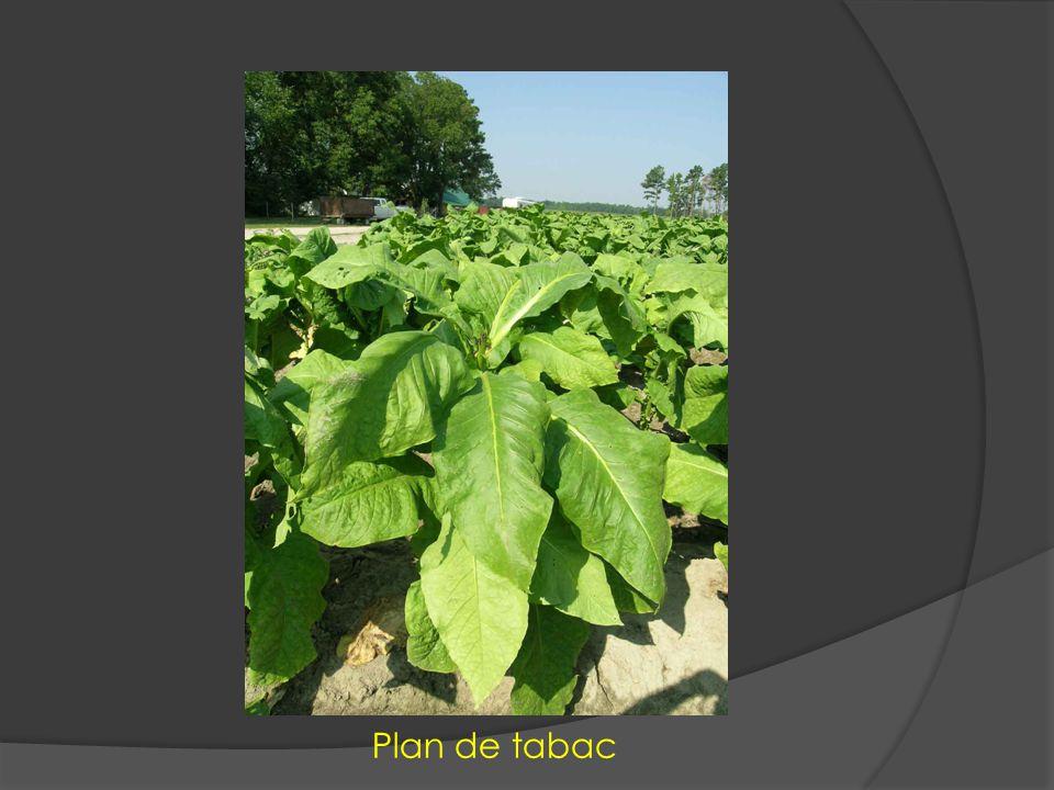 Plan de tabac