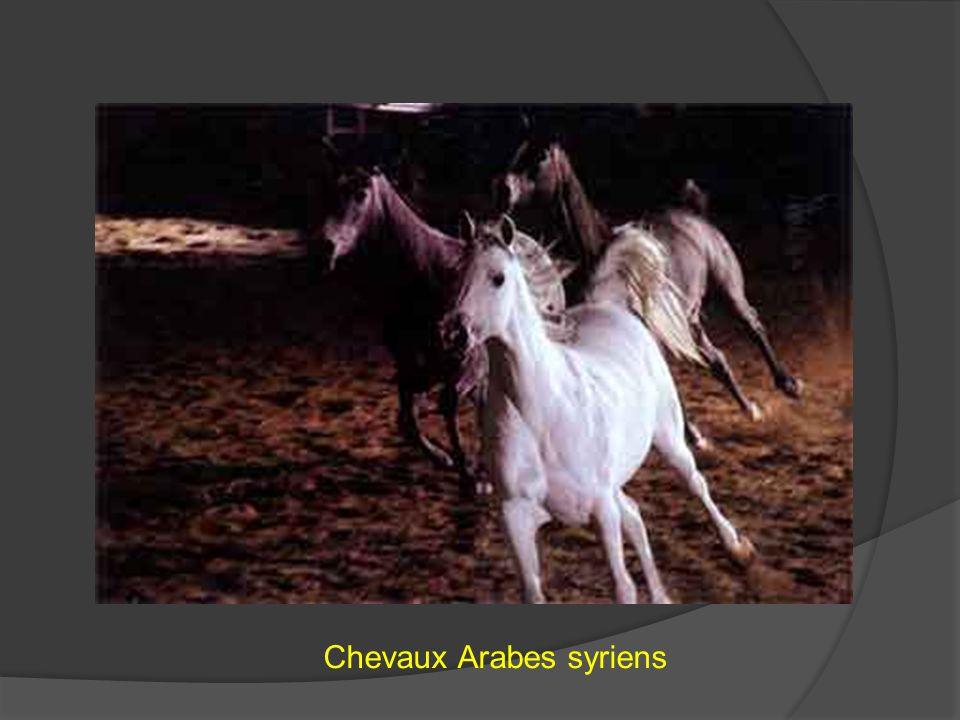 Chevaux Arabes syriens