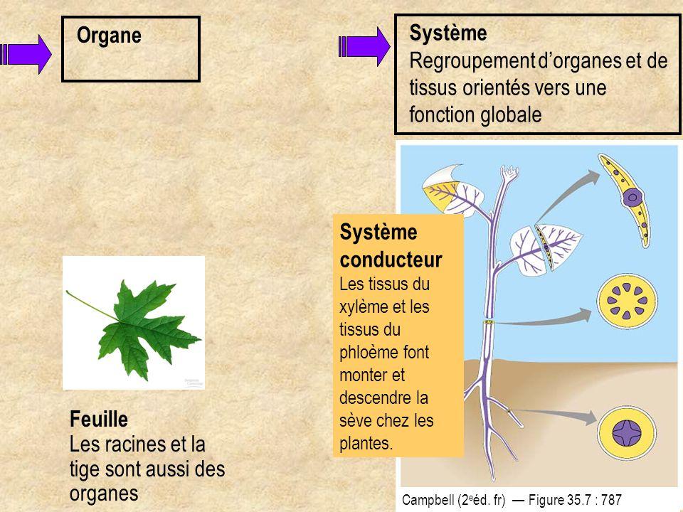 Organe Feuille Les racines et la tige sont aussi des organes Système conducteur Les tissus du xylème et les tissus du phloème font monter et descendre
